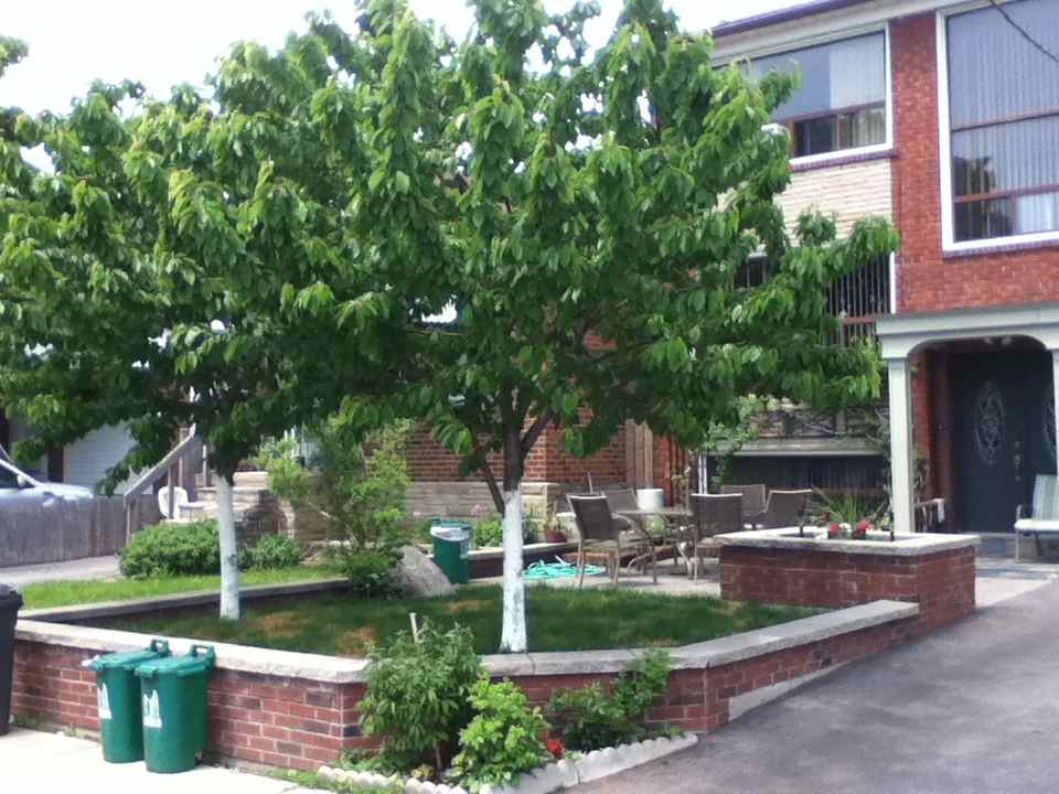 Dwarf Cherry Tree Or Cherry Shrub Which Is Best For Your Garden