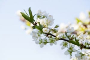 Pollination is just one of the things to consider | When to prune fruit trees