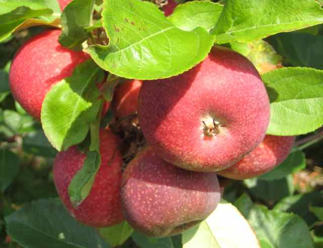 Red apple cluster on tree