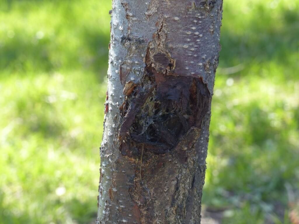Canker on the trunk of an apricot tree in Ben Nobleman Park Community Orchard. Should we cut it down? Or cut it out?