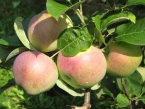 There are thousands of different types of apples. Disease resistant varieties are better for the organic grower.