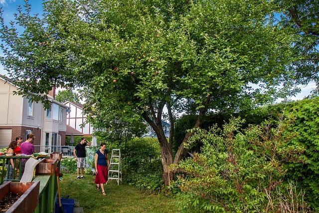 Volunteers harvest a residential tree in Ottawa (Photo Credit Hidden Harvest)