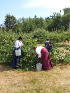 Harvesting the fruit from dwarf apple trees in Historic Stewart Farm in Surrey, B.C.