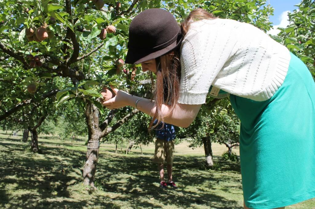 Putting Orchard Sox on the heritage apples at Stewart Farm in B.C.