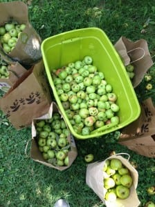 The apple harvest (photo credit: Baltimore Orchard Project).