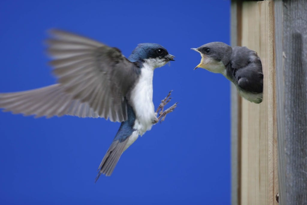 Eastern Bluebirds and Tree Swallows are great to have in your orchard as they eat insect pests that are attracted to fruit trees (Photo credit: Dreamstime)
