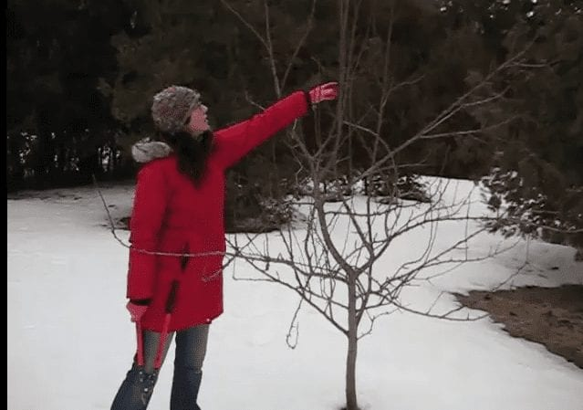 Woman pruning young pear tree in winter | When to prune fruit trees