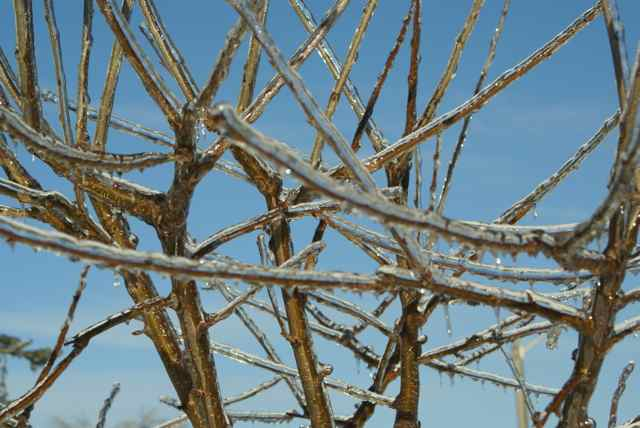 The cherry  trees in Ben Nobleman Park Community Orchard survived an ice storm in 2013
