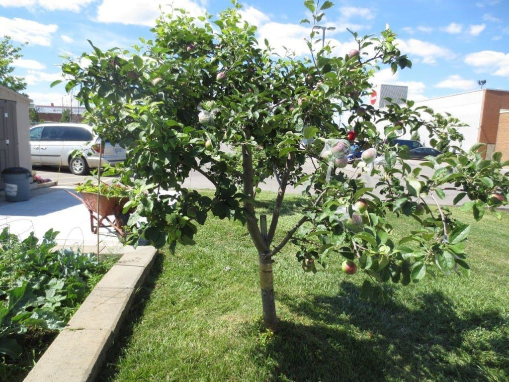 The apple tree that gave birth to Daily Bread's designer apples!