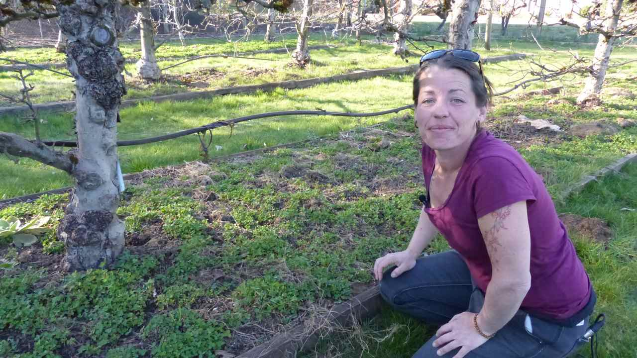Planting Green Manure Around Mature Fruit Trees