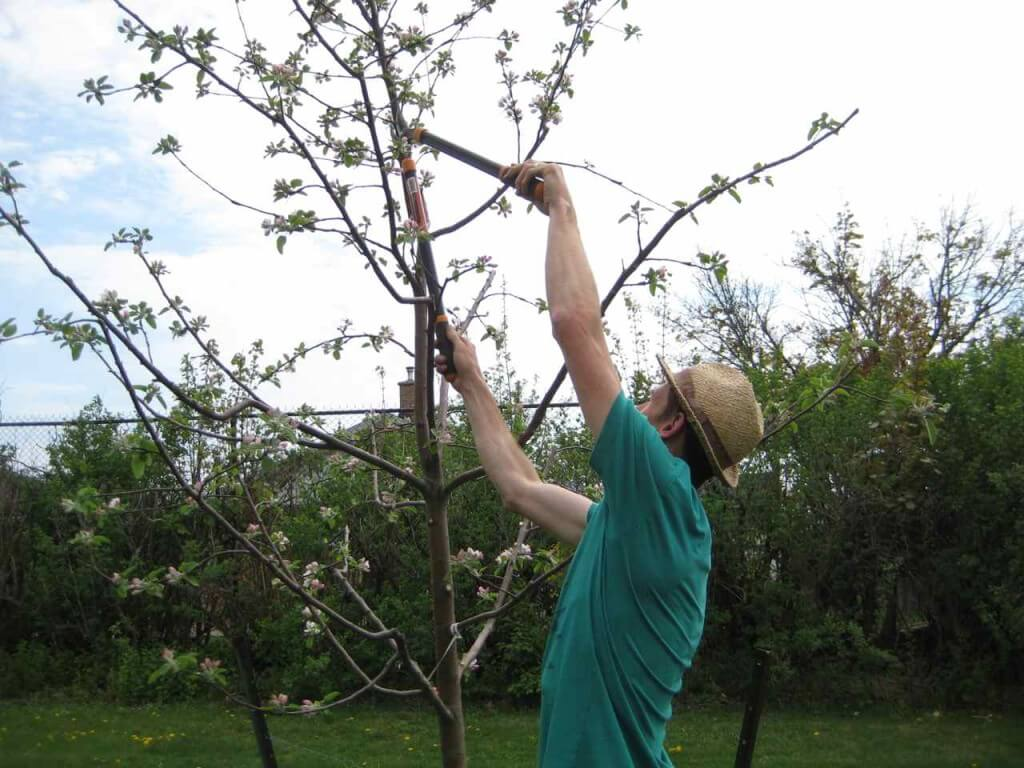 A volunteer pruning one of the larger trees in Fennel Orchard. When you plant a larger tree, it's harder to create the ideal shape for growing fruit.