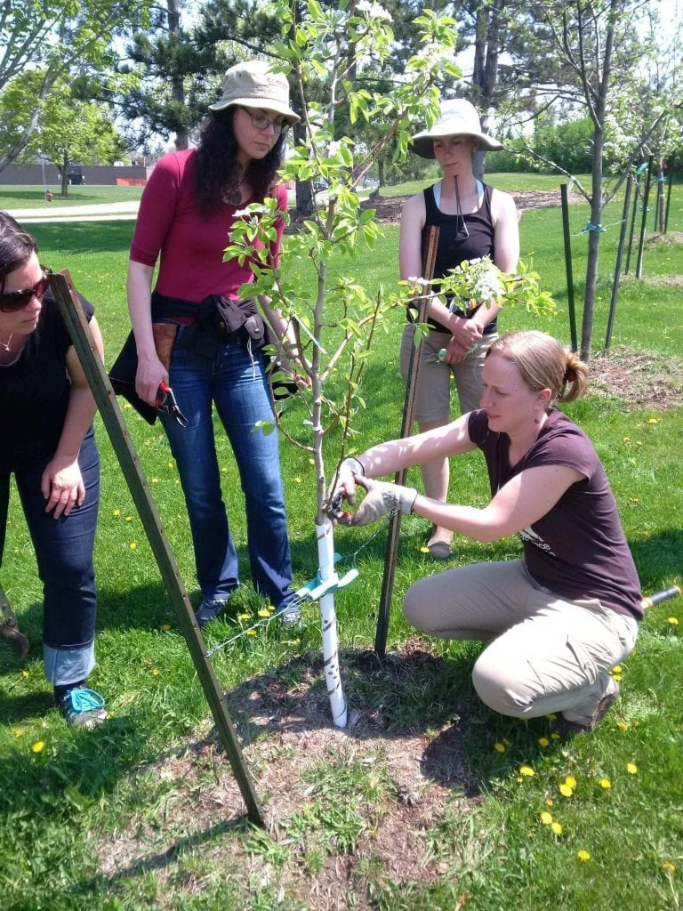 It's easier to prune and maintain a smaller tree. While these trees start off small, they will grow more vigorously and adapt to their new conditions sooner than a larger calliper tree. Photo credit: Mohawk College