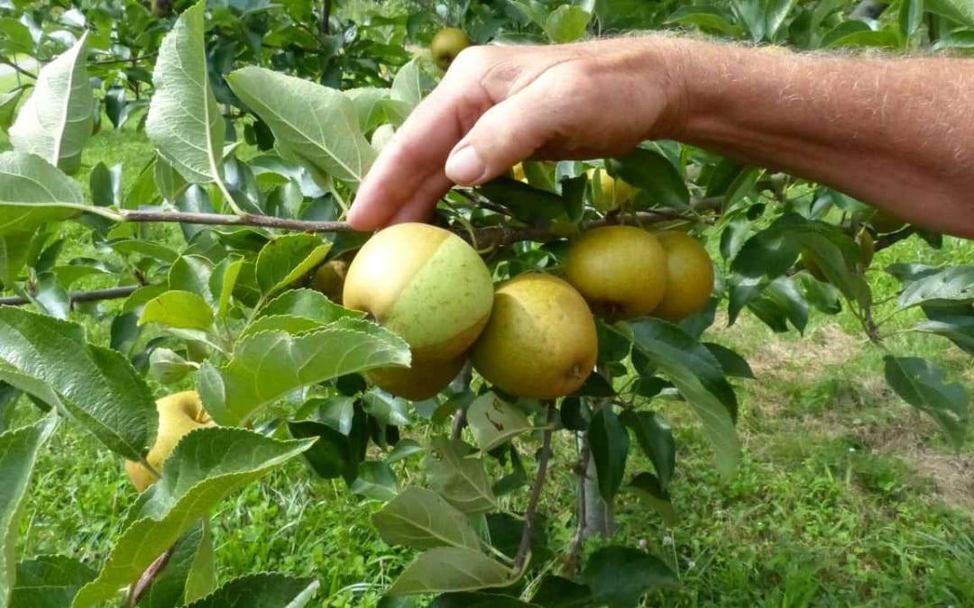 Cultivar Profile: Razor Russet