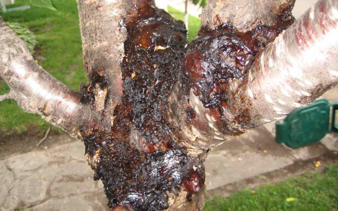 How are Your Cherry Trees? How to Beat Bacterial Canker