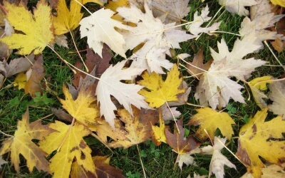 Why Autumn Leaves are the Best Fruit Tree Fertilizer