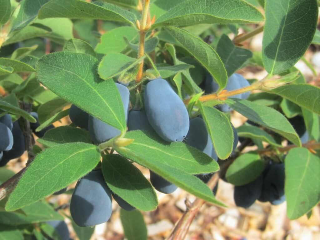Hascap berries (also known as Honeyberries) are easy-to-grow, delicious and hardy.
