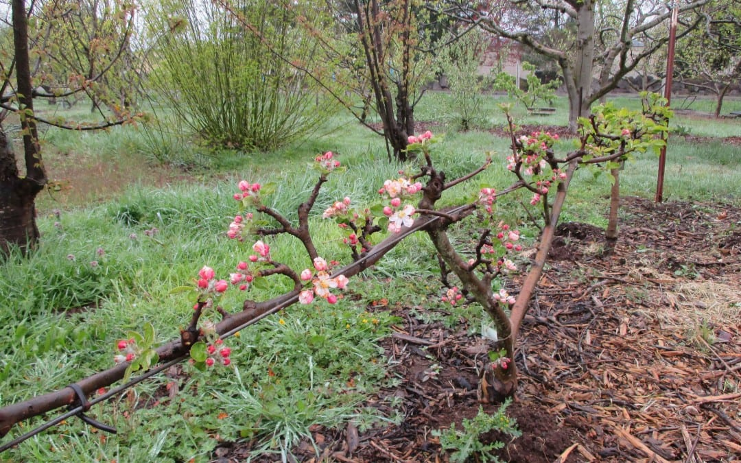 "Want a small fruit tree? Try ""Stepover Apples"""