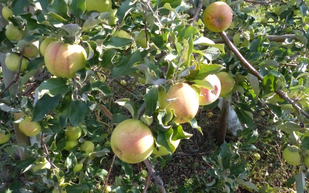 Quick Fruit Tree Tips: Slender Spindle Pruning