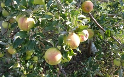 Quick Fruit Tree Tips: Slender Spindle Pruning