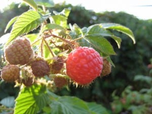 raspberry plants fruiting in permaculture garden