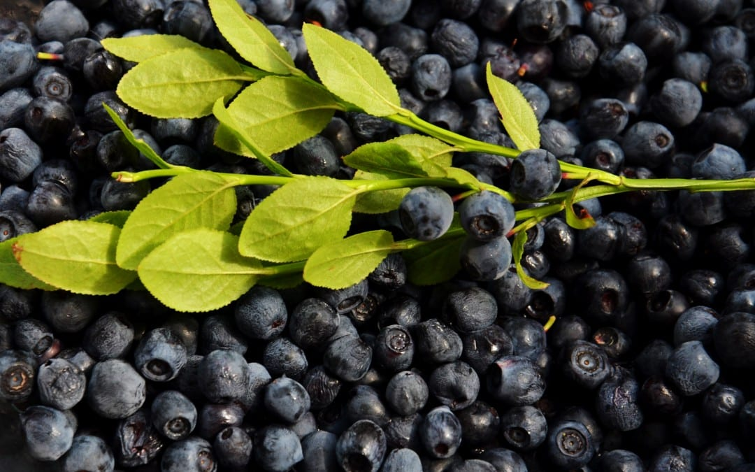 How to Prune Highbush Blueberry Bushes