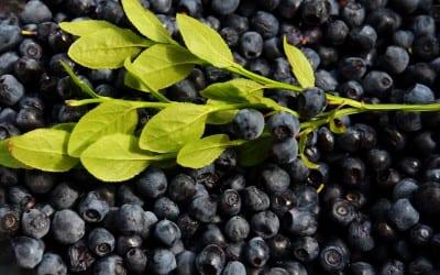 How to Prune Highbush Blueberry Bushes