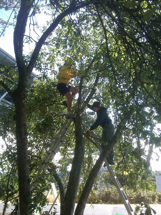 Pruning old fruit trees along the Burke-Gilman trail in Seattle (Photo Credit City Fruit)