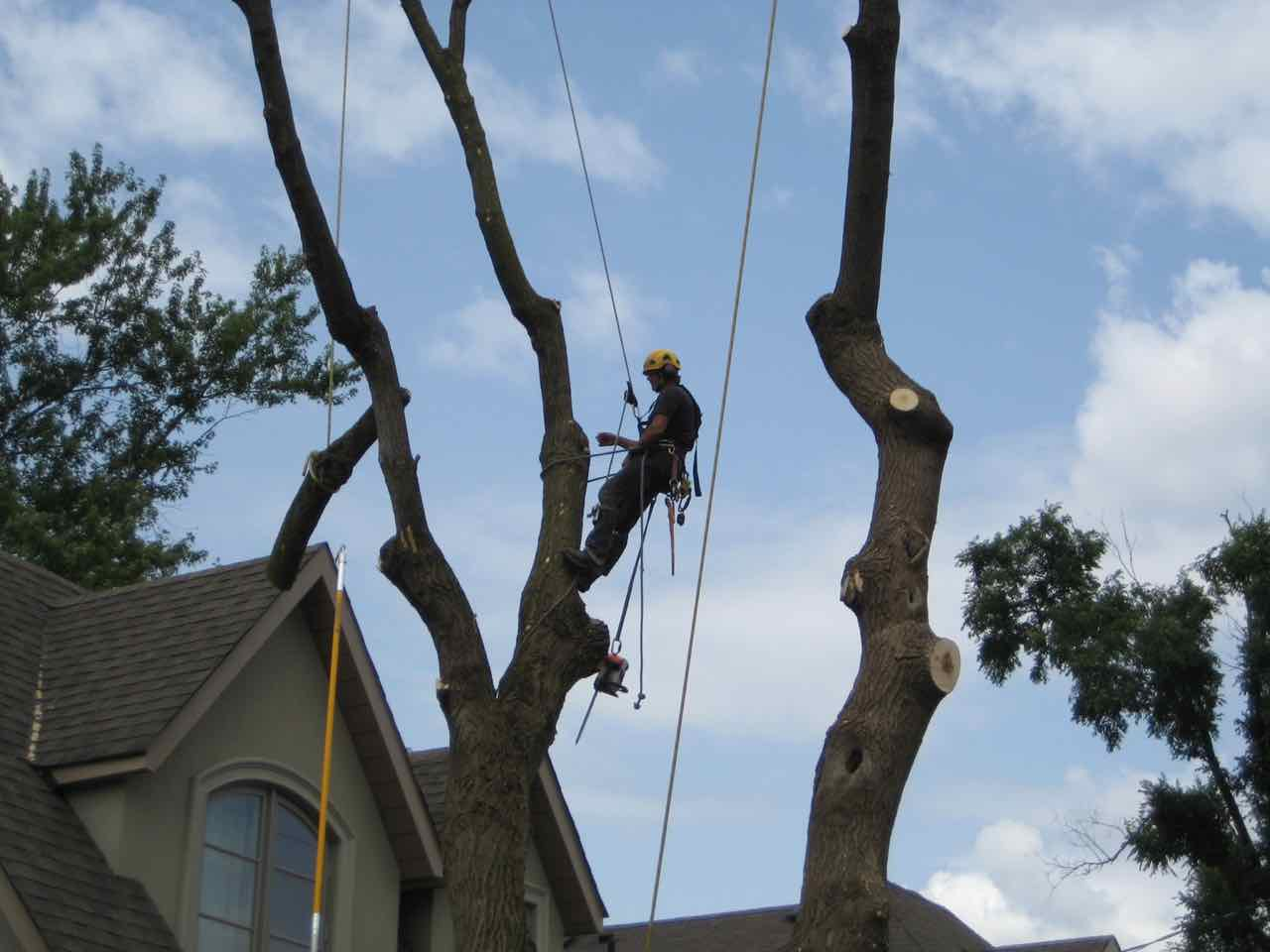 Isa arborist climber cuts down part of tall urban tree