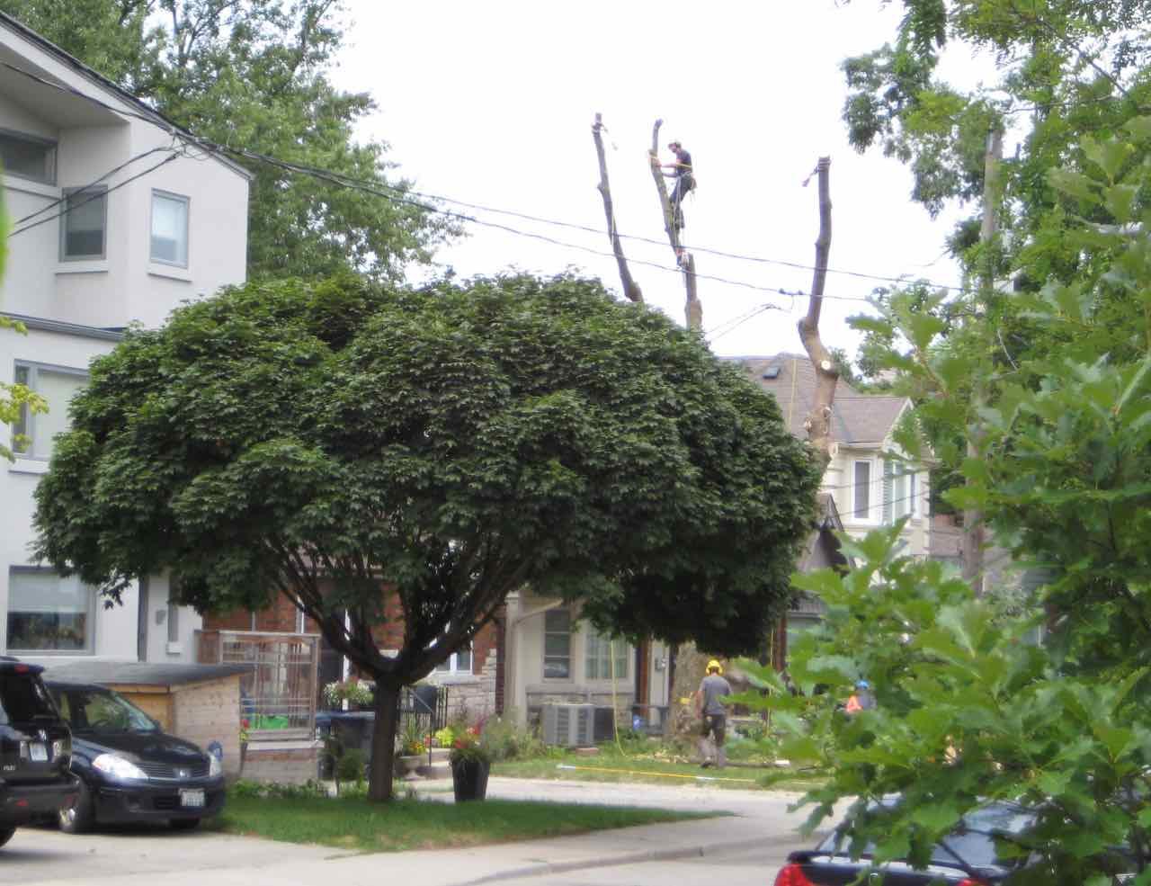 Isa Arborist Climbing tree