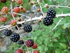 Blackberries are delicious and ornamental, their berries changing from a deep red to rich black while ripening.