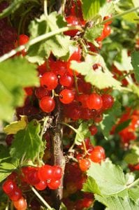 Redcurrants are shade-resistant fruits that do well in smaller gardens.