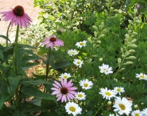 Flowering plants like echinacea, shasta daisies, and blue false indigo all make wonderful additions to effective insectaries.