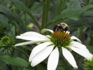 Native flowering plants attract beneficial bugs to your fruit trees