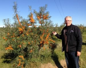 Researcher Bill Schroder beside a seabuckthorn variety that he helped to develop. This is a thornless cultivar that produces large nutrient rich berries.