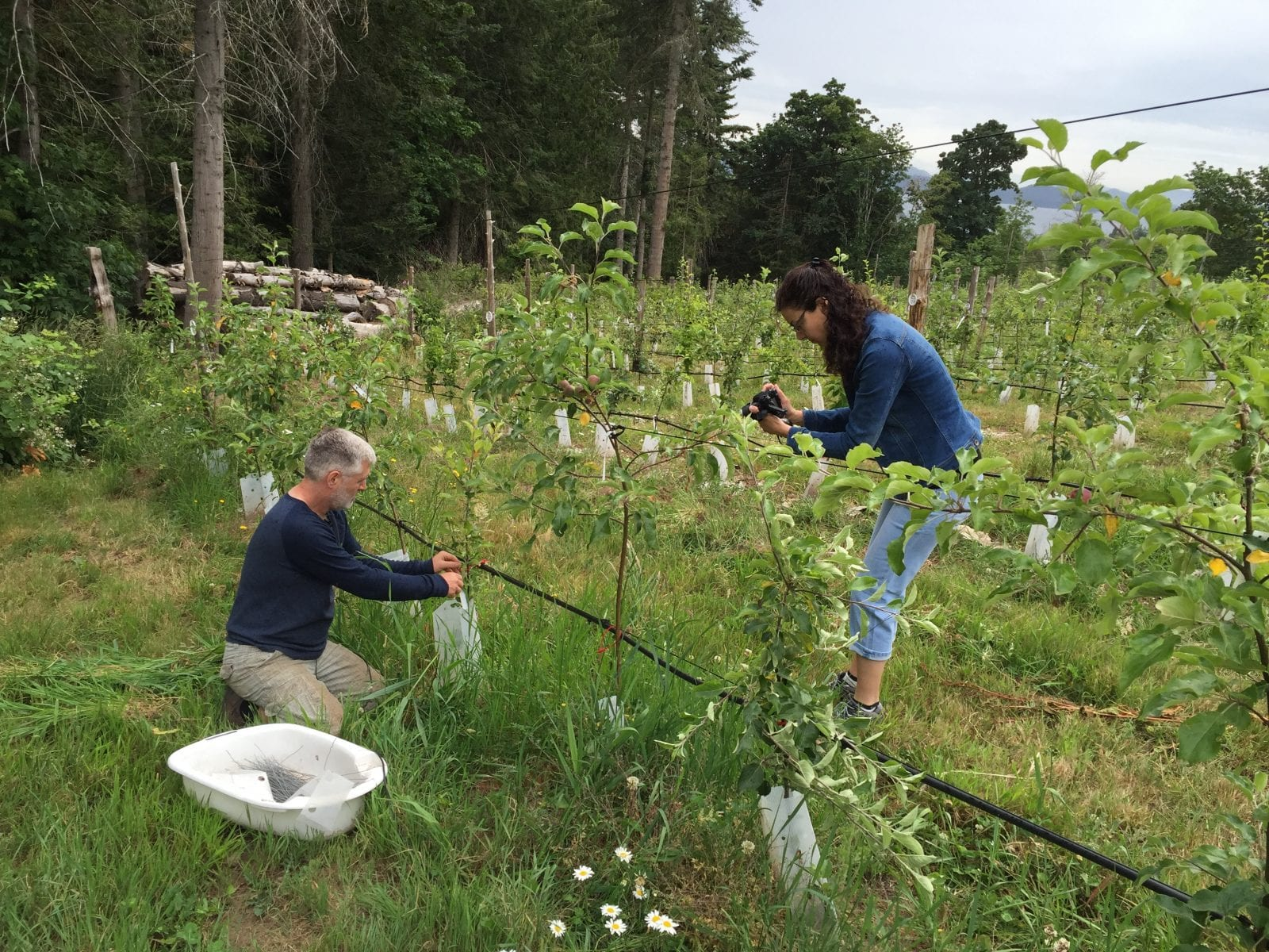 man training apple trees