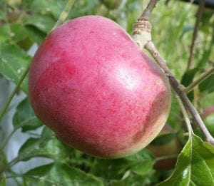 Wolf River is a baking apple that is so large that one apple can be used for a whole pie. Photo Credit: Salt Spring Apple Company