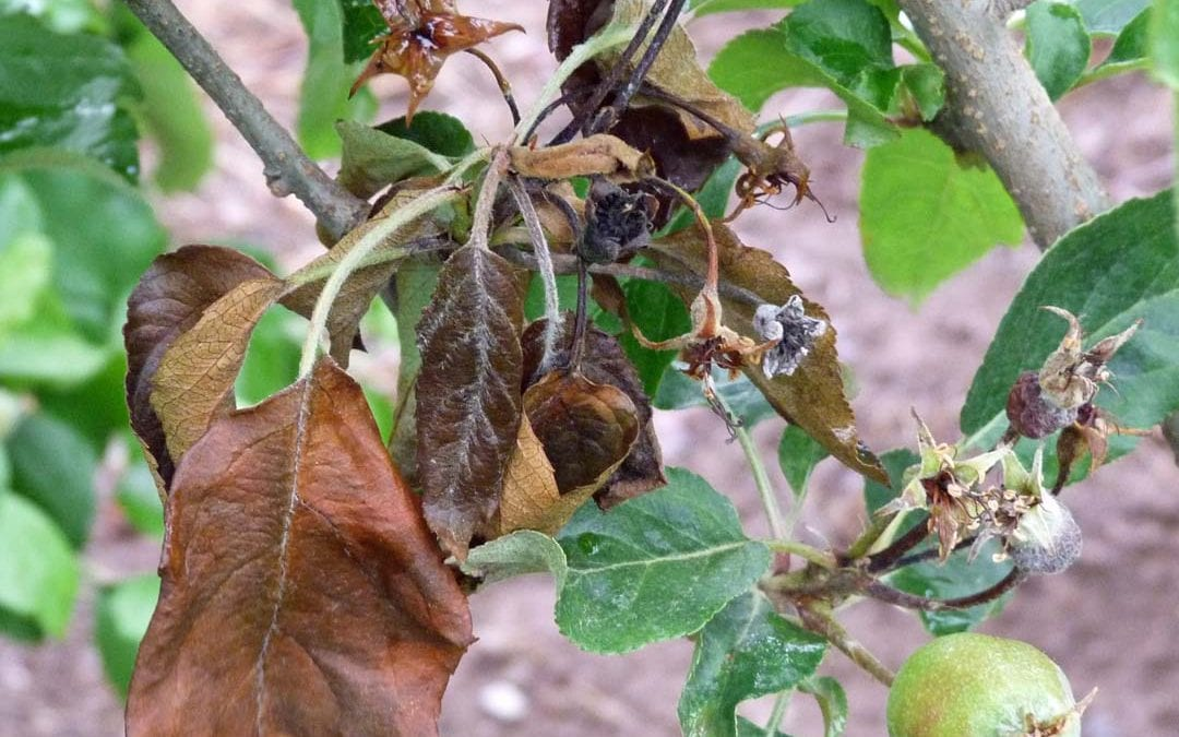 Fire Blight and Fruit Trees