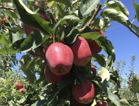 Foxtrot apples growing on tree in Rob Wyles Farm in Washington State. Photo Credit: Rob Wyles
