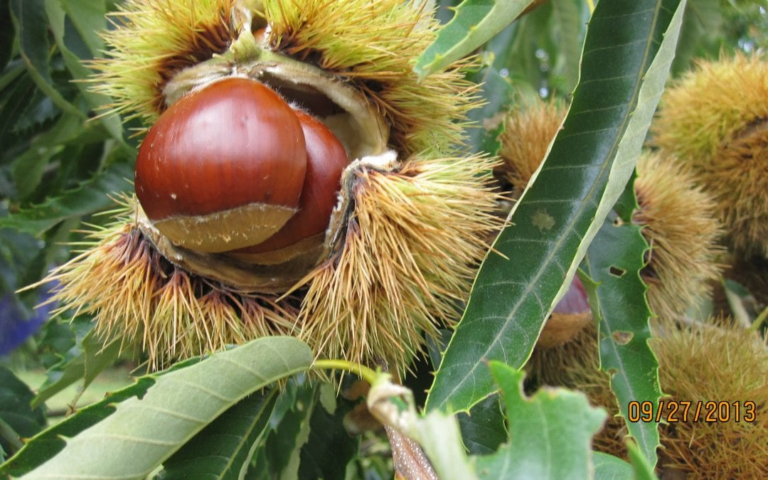 Episode 16: Growing Chestnut Trees