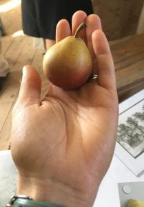 Jesuit Pear Trees Produce a small, sweet and spicy fruit