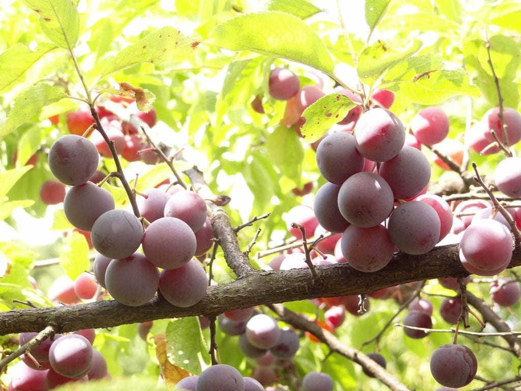 How to grow beach plums | Orchard People