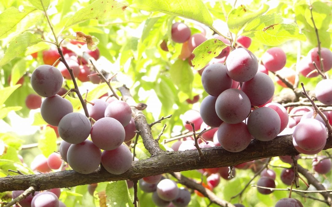 Episode 21: How to Grow Beach Plums