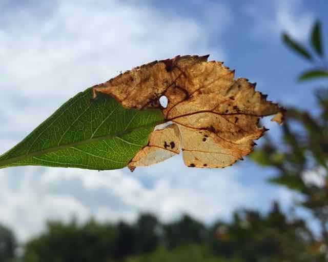 Leaf miner damage on a leaf. Tree leaves problems   Orchard People