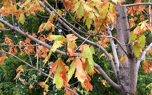 Tree Leaves Problems include drought stress as shown in this maple tree.