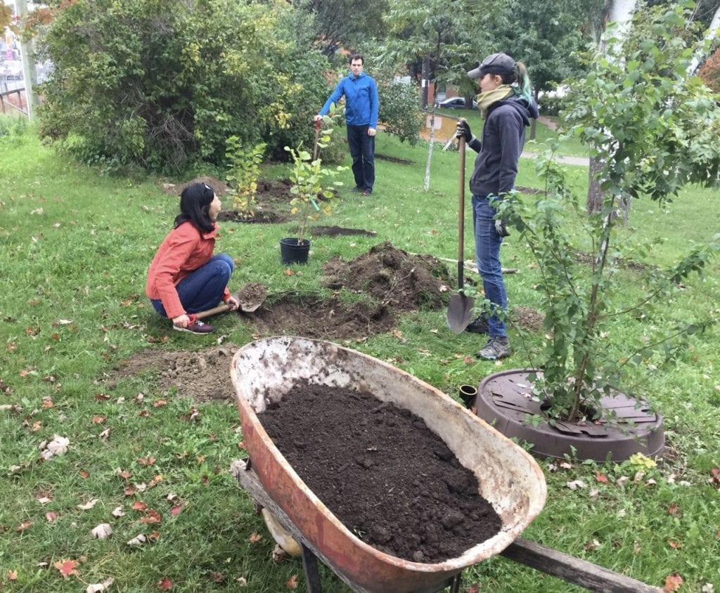 Planting hazelnut shrubs in community orchard in Toronto