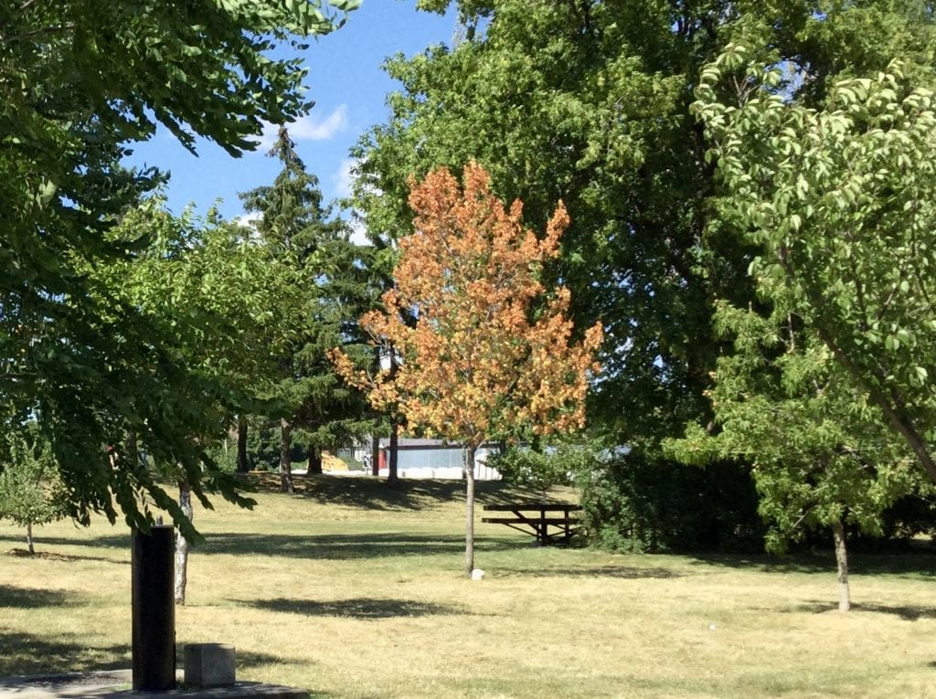 Sugar maple tree with orange leaves in July