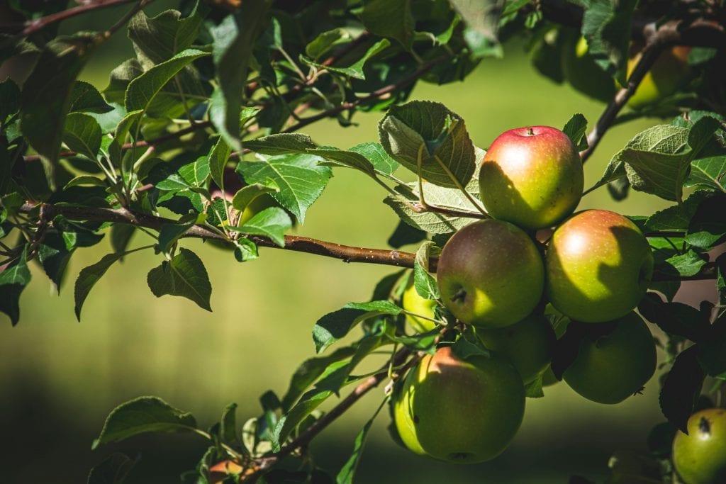 apples on tree | Fruit tree nursery resource list